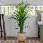 Cómo cultivar y cuidar las palmas de areca