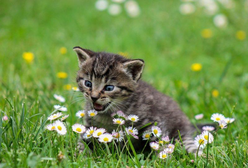como saber si tu gato es zurdo o diestro