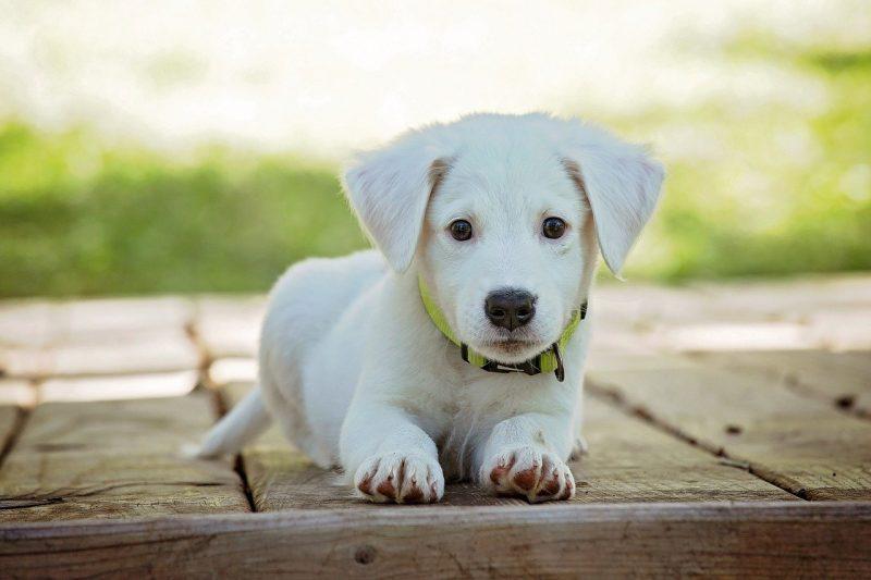 ventajas inconvenientes castrar perros